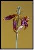 Tulpe verblüht